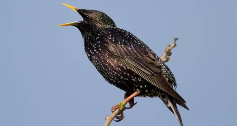 English Starlings